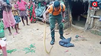 4-ft cobra rescued from flood-hit house at Kanas