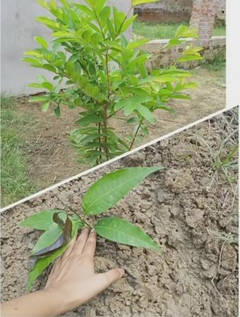 UP to plant 30cr saplings in 2021