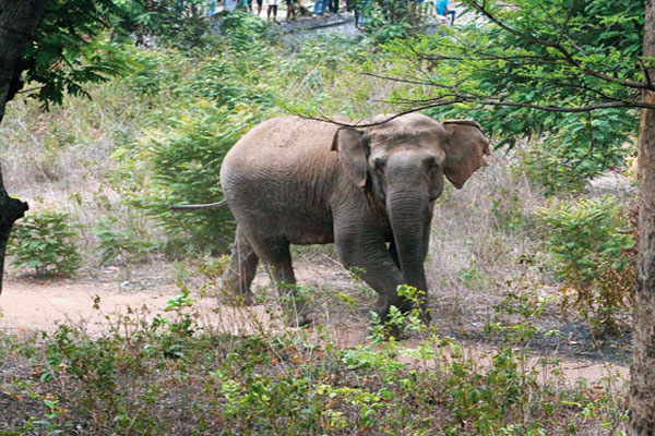 In Odisha, human casualties in elephant encounter is high in summer