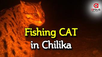 Chilika lake has now a new guest – The fishing cat
