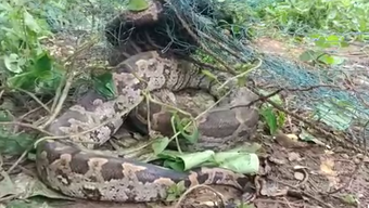 6-foot-long python rescued from villager's house in Keonjhar
