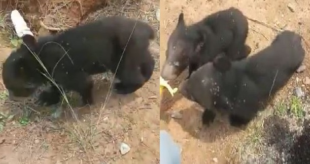 5 bear cubs rescued from Bhubaneswar outskirts