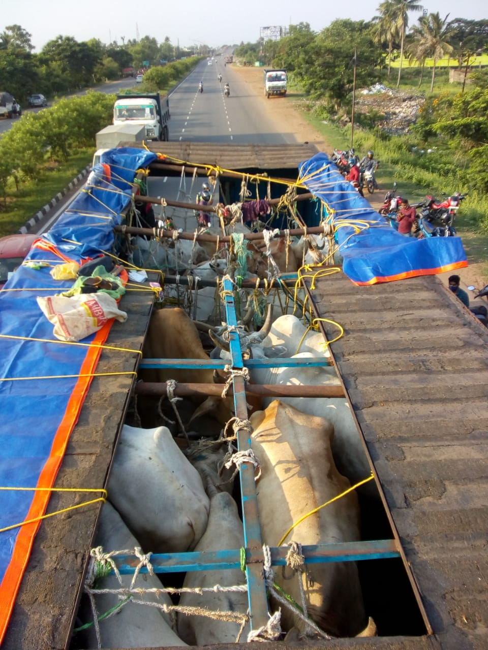 Truck trafficking over 100 cattle illegally to West Bengal seized near Cuttack