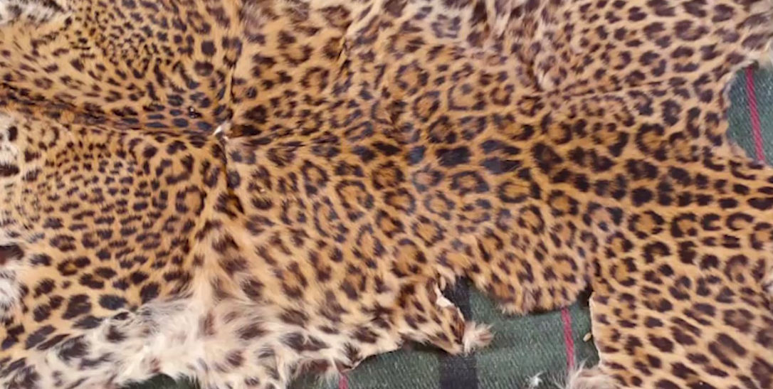 Leopard skin seized, 2 held in Nayagarh