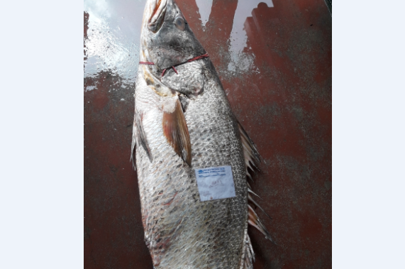 Huge medicinal fish caught in Bhadrak, sold for Rs 1.43 lakh