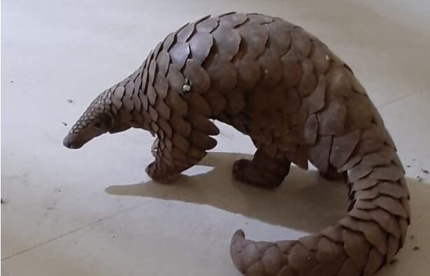 Pangolin rescued in Cuttack; One held