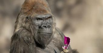 9 apes at San Diego Zoo get Covid vax