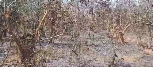 Fire in Chandaka jungle for 2nd day; many old trees burnt
