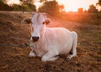 20 cattle rescued while being trafficked in Gajapati, 3 held