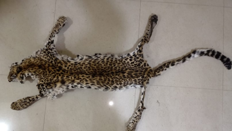 Crime Branch STF seize leopard skin, elephant tusk in Nayagarh; 2 held